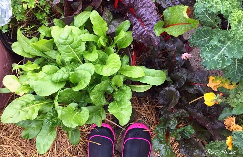 winter harvest of lettuce, swiss chard and kale
