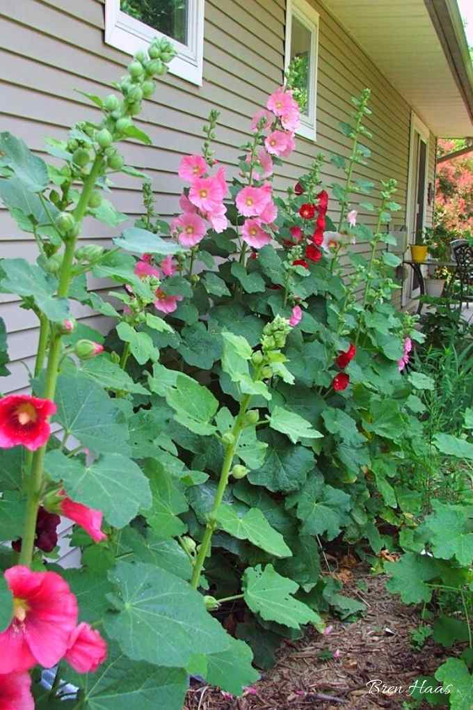 Hollyhocks Reseed Along the House