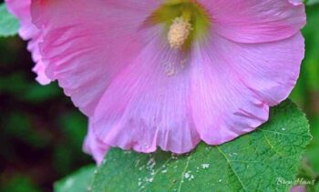 My Pink Hollyhock Grown From Seed
