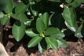 Lime citrus blooms / fruit