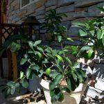 citrus on home garden porch