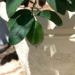 citrus in home garden