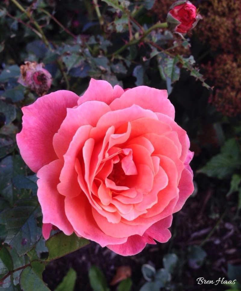 Loretta Lynn Rose in Autumn