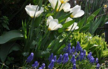Spring Bulbs in The Garden