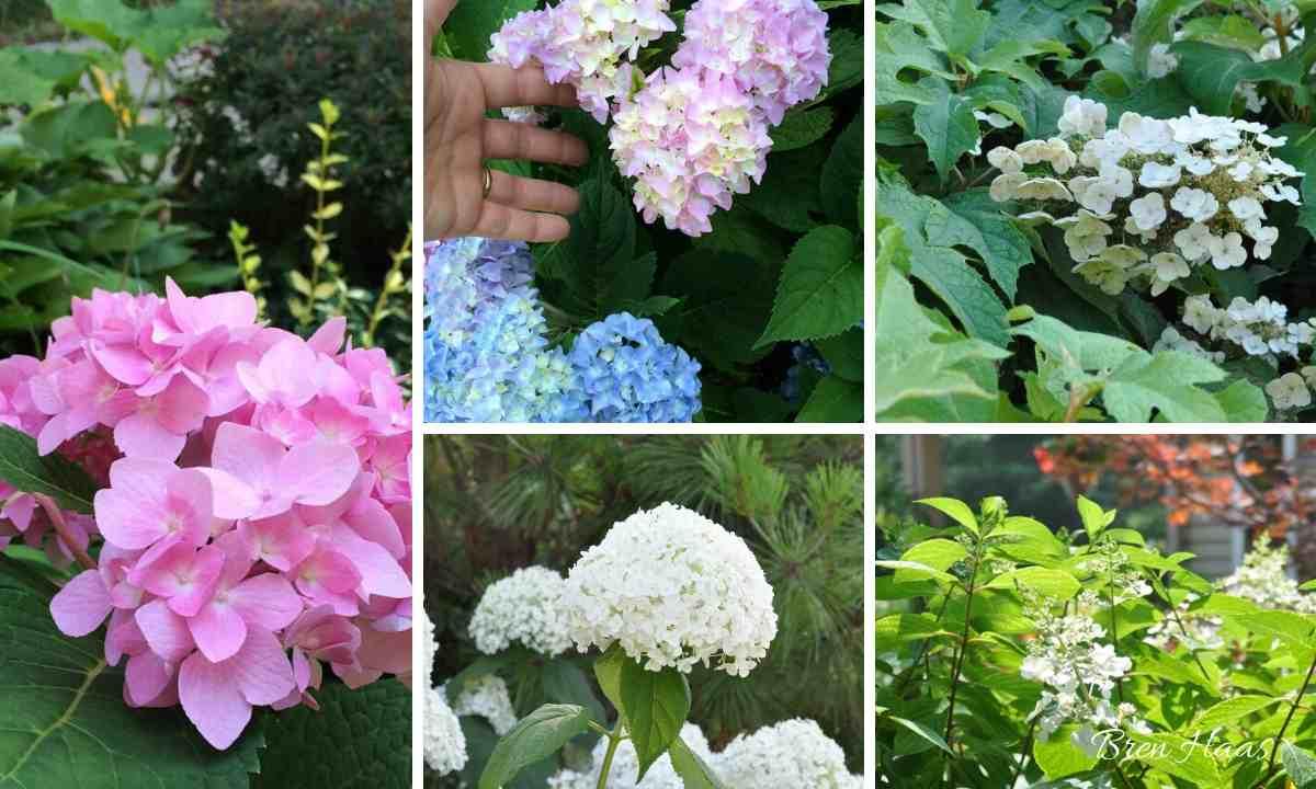 5 Types of Hydrangeas