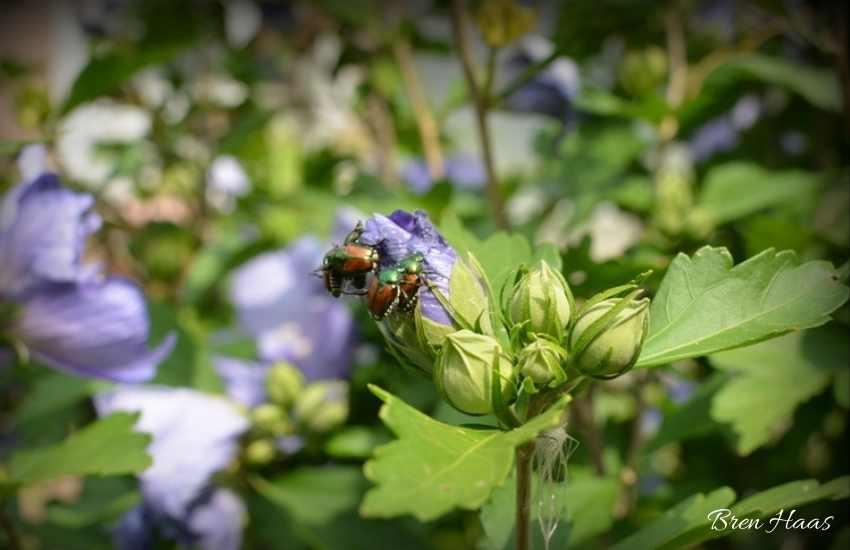 beetles on bud