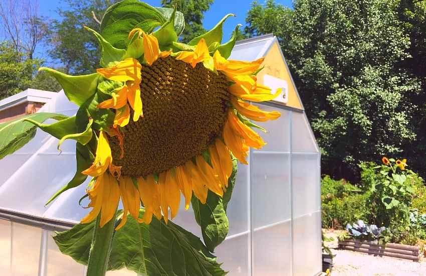 greenhouse volunteer