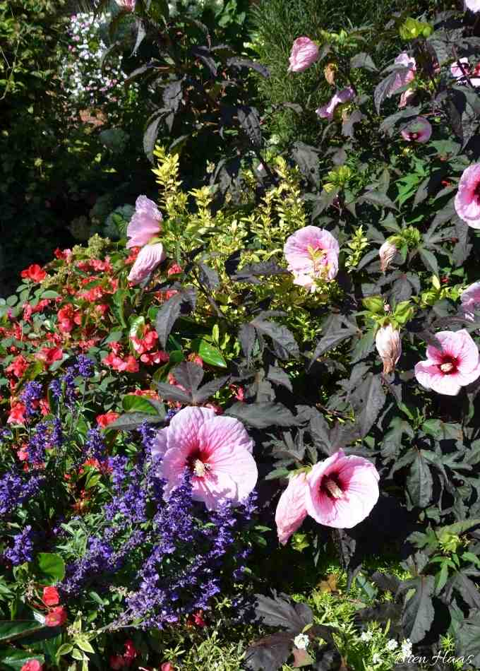 Hibiscus at Proven Winners Gardens