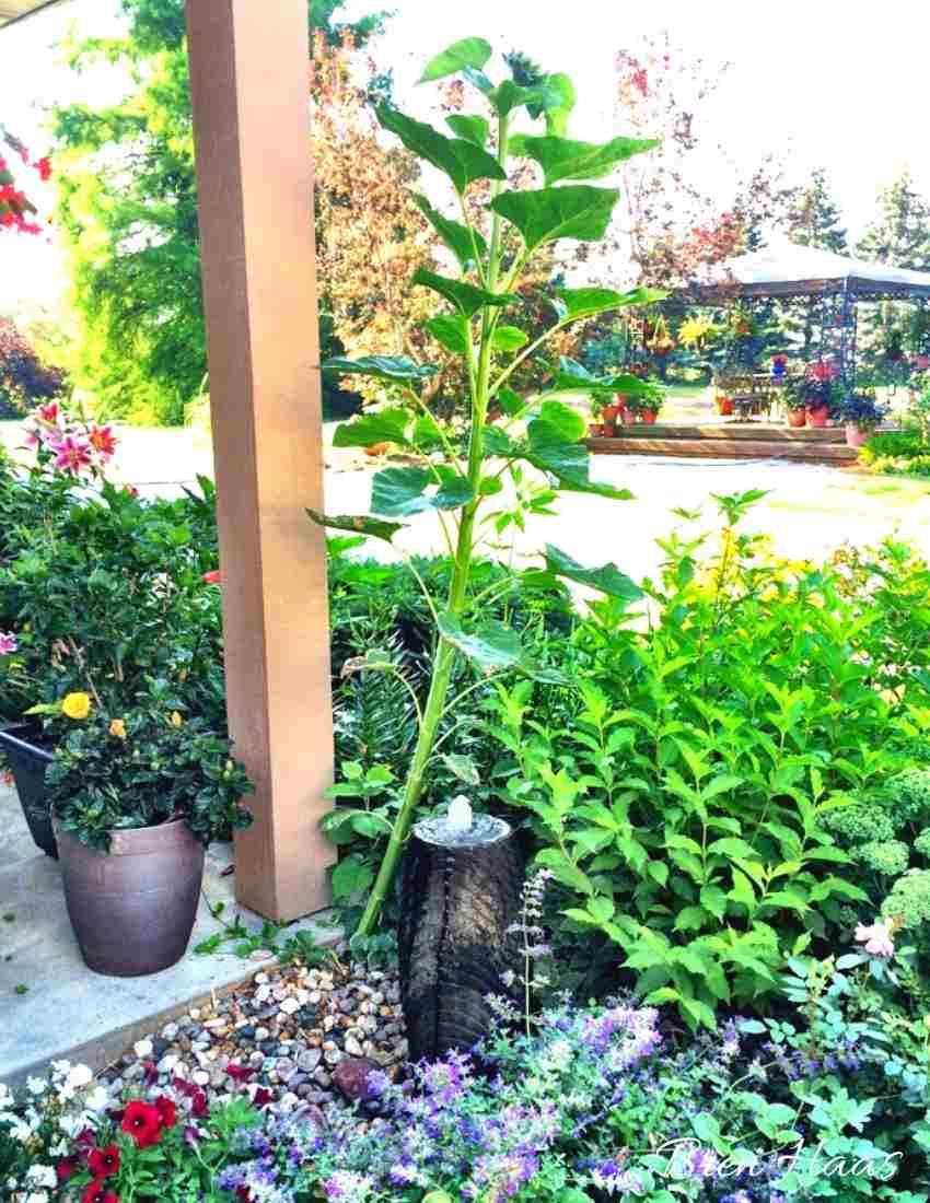 Sunflower Surprise in Fountain garden
