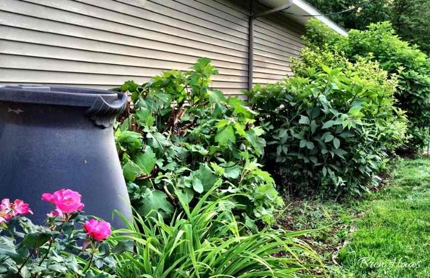 new rain barrel to save water for garden