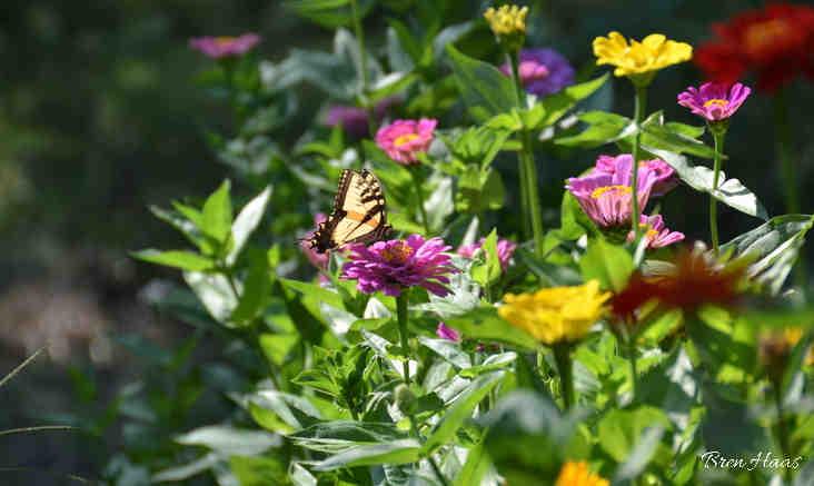 zinnias in my Home Garden