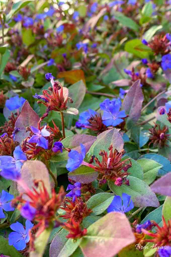Upclose Image of the Plumbago in Autumn