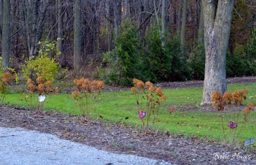 New Row of Hydrangea Limelights 2014