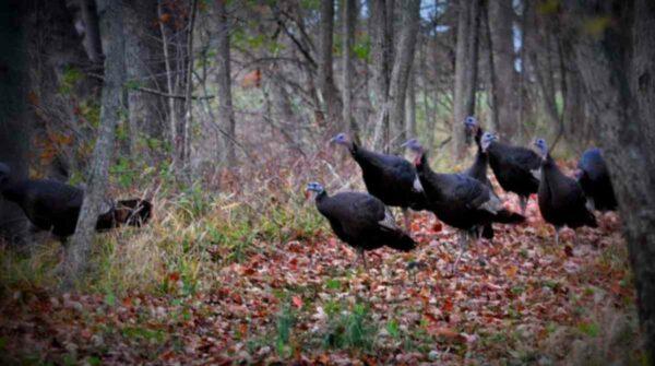 Wild Turkey Sighting In My Ohio Backyard