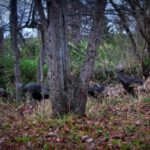 In my woods .. wild turkey