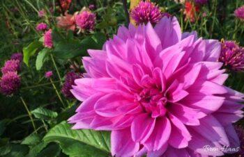 Dahlia in the Garden Landscape