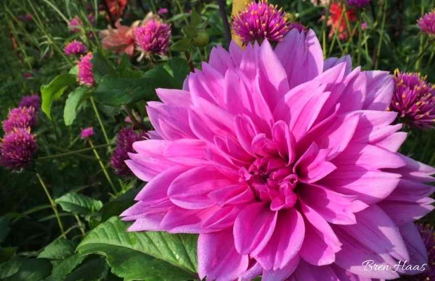Dahlia in the Garden Landscape