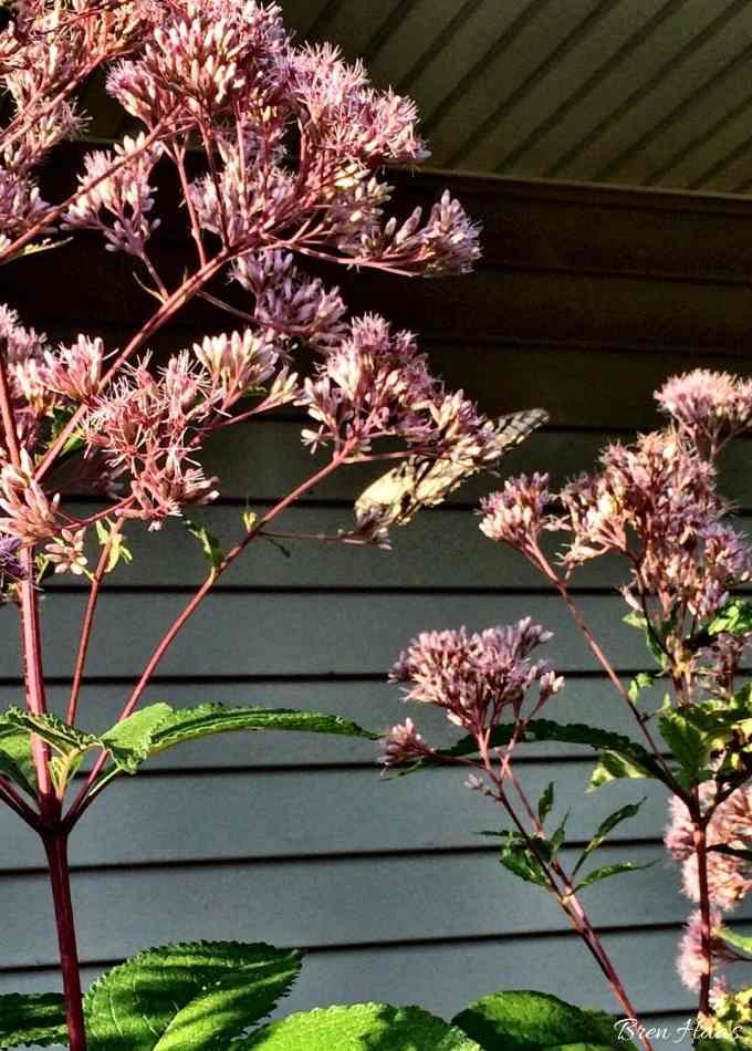 Joe Pye Weed Loved By Pollinators