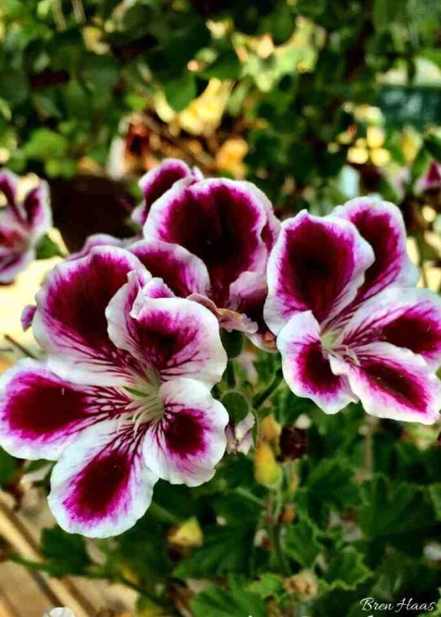 Beautiful Blooms of Scented Geranium