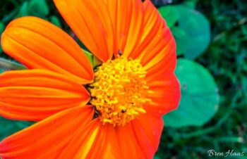 tithonia rotundifolia sunflower