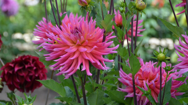 A Visit to Dahlia Hill in Midland, Michigan