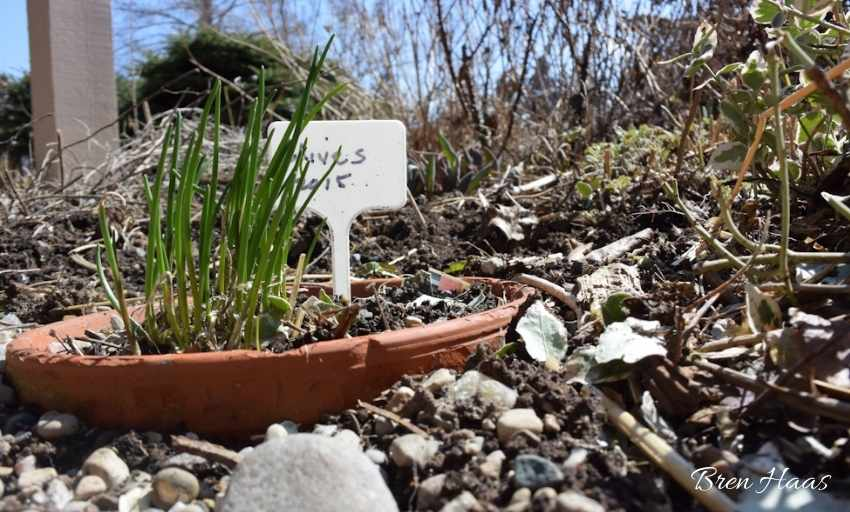 New Sprouts from Chive Plants