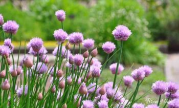 Spring Blooms from Chive Plants