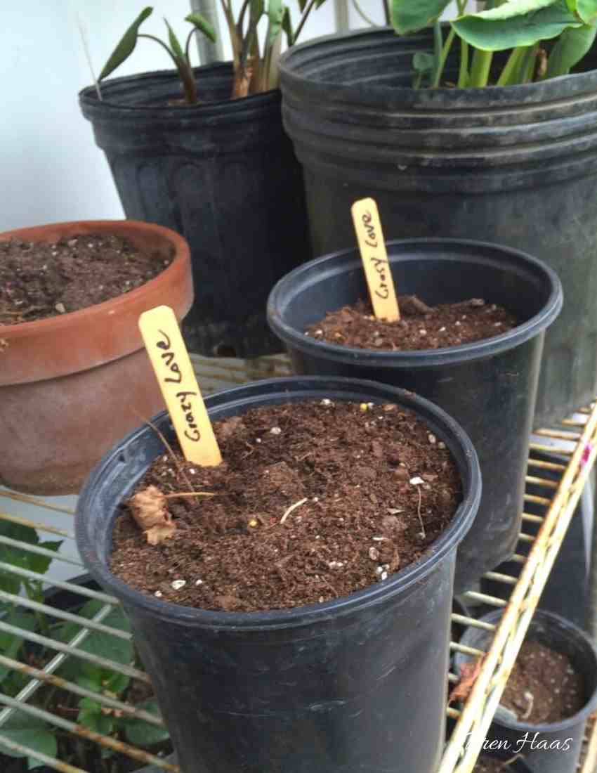 starting dahlia tubers in greenhouse
