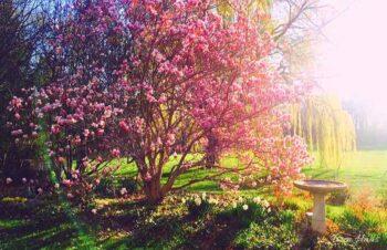 Magnolia Blooms on Tree