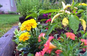 mixed annuals in the raised bed