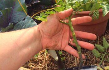 planting tomato deep