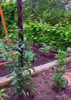 Growing Tomatoes on stakes