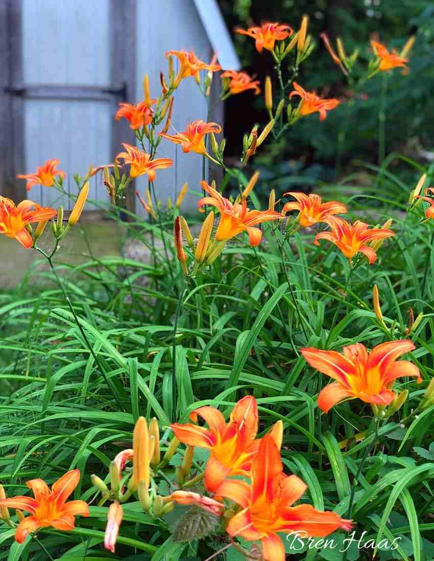 ditch lily or Burst of Orange