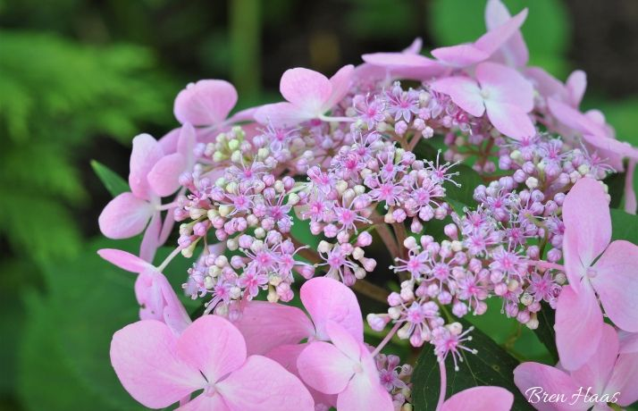 lace cap hydrangea pink
