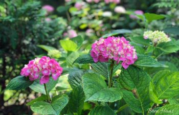 Pink Hydrangea _ Let's Dance® Big Easy®
