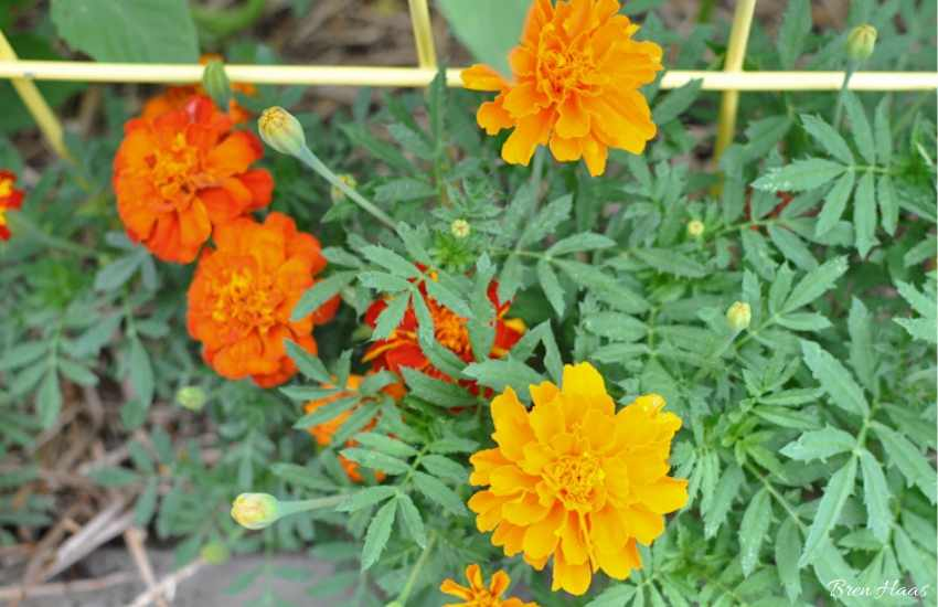 Marigolds in Raided Bed
