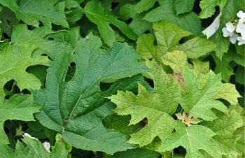 July leaves of Oak Leaf