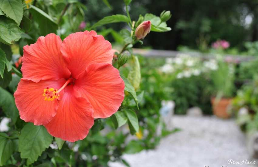 Tropical Hibiscus in Containers