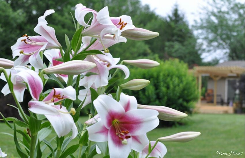 Silk Road Orienpet Lily