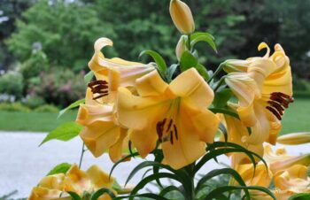 """Large 36"""" tall hybrid Lily"""