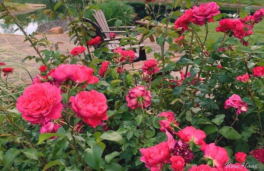 Flamenco Rosita Shrub in my home garden