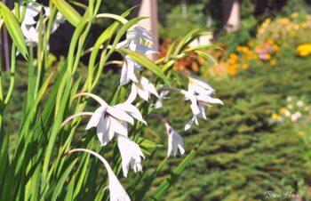 Gladiolus Callianthus Murielae Acidanthera