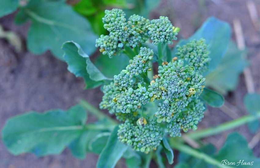 Broccoli in late summer
