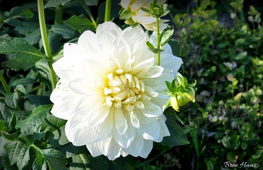 white bloom of dahlia