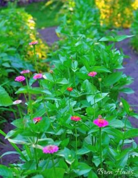 zinnia row in the garden