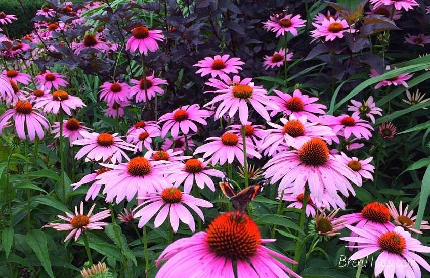 coneflowers in the garden