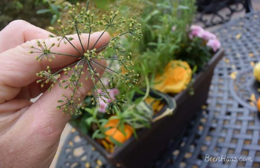 fennel is a sweet herb used in cooking