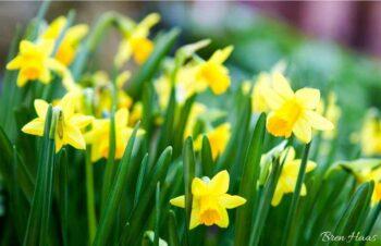 Daffodil Feild