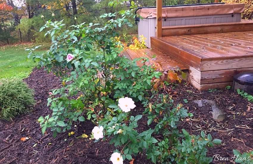 roses in full sun area around the hot tub deck