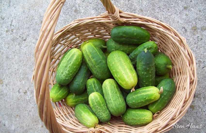 Basket Full of Pickles